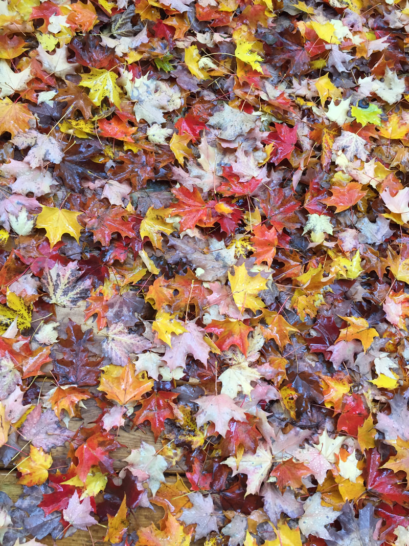 Leaf colours, red leaves, orange leaves, yellow leaves, Fall leaves, fallen leaves, Toronto, wet leaves